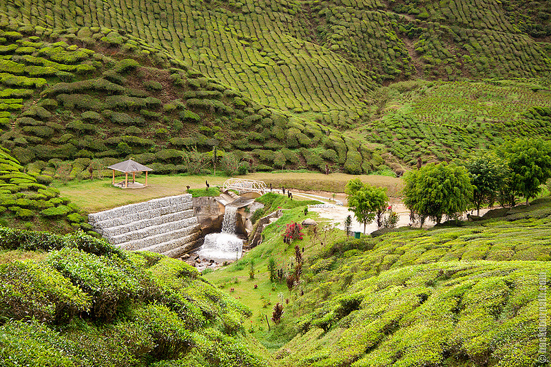Чайные плантации Cameron Highlands